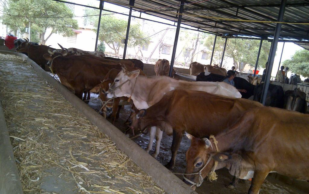 Dairy Farm – Love & Care for Animals